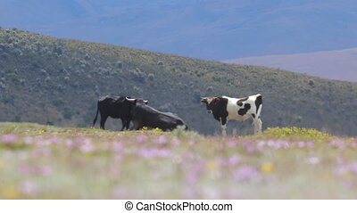 Bull standing on a field - Cattle bull and cow standing a ...