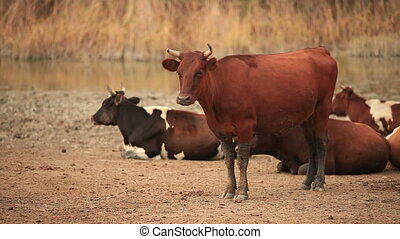 Bull stands against a background of lying cows in the pasture.