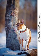 Bull terrier on walk in park.