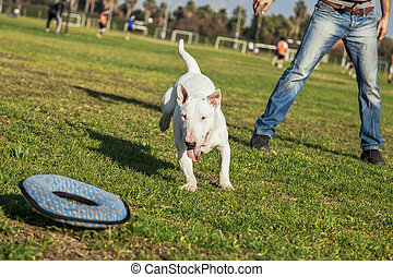 Bull Terrier Playing in the Park