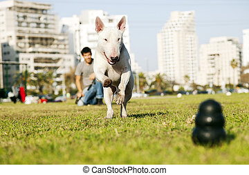 Bull Terrier Running for Chew Toy in Park - Bull Terrier dog...