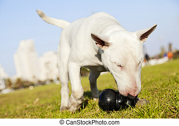 Bull Terrier dog caught in the of fetching a chew toy at the park.