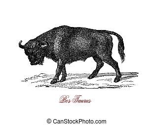Bull, vintage engraving XIX century