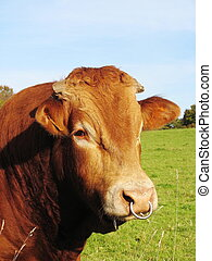 A close up of the head of a Limousin bull with nose ring