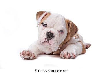 bulldog, abajo, perrito, acostado, inglés