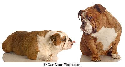 bulldog bullying - english bulldog sticking her tongue out...
