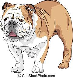 bulldog, casta, vector, bosquejo, inglés, perro