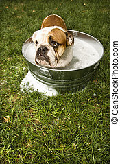 bulldog, en, bath.
