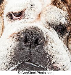 Bulldog Face Extreme Close-up