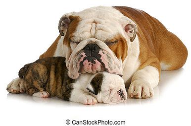 bulldog father and daughter - bulldog father and puppy...