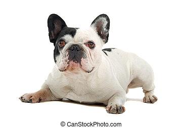 bulldog, (frenchie), franse