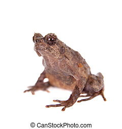 Bulldog frog, ophryophryne hansi, female on white - Bulldog...