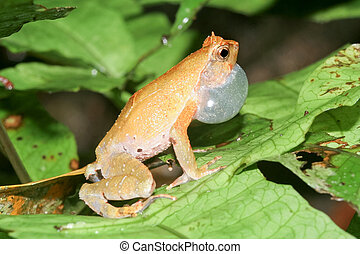 Bulldog frog, ophryophryne hansi, male calling on leaf