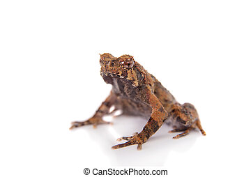 Bulldog frog, ophryophryne hansi, male on white - Bulldog...