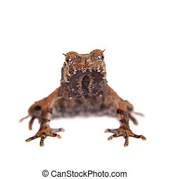 Bulldog frog, ophryophryne hansi, male on white - Bulldog...