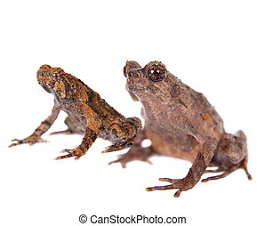 Bulldog frog, ophryophryne hansi, pair on white