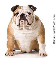Bulldog, Inglés
