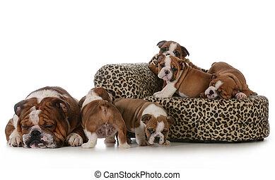 bulldog litter