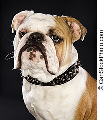 bulldog, llevando, pincho, collar.