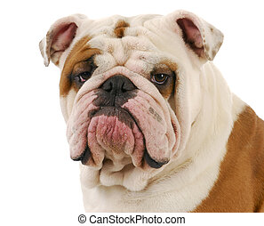 english bulldog head portrait on white background