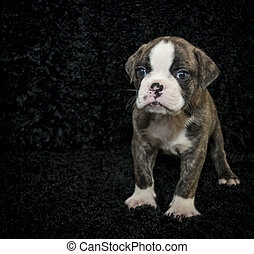 Bulldog puppy with copy space