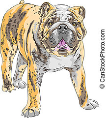 bulldog, ras, vector, schets, engelse , dog