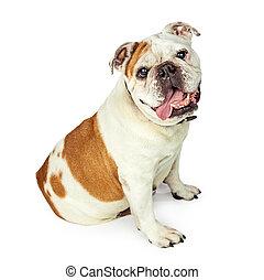Bulldog Sitting to Side Looking Forward