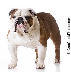 bulldog, standing