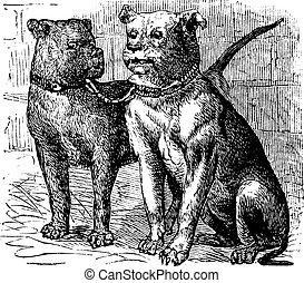 bulldog, vendemmia, incisione