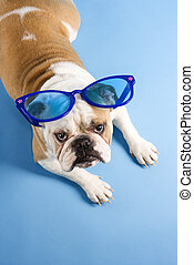 Bulldog wearing sunglasses.