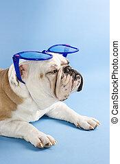 Bulldog with sunglasses.