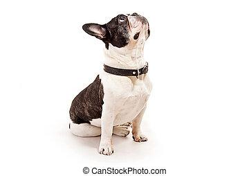 bulldog, witte , blik, achtergrond, op