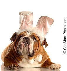 bulldogg, elegant klädd, som, påsk kanin