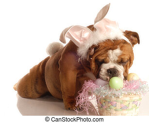 bulldogge, angezogene , ostern, auf, kaninchen