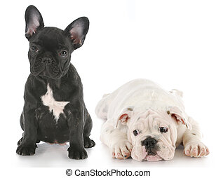 bulldogge, hundebabys