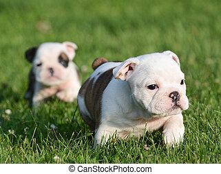 bulldogge, hundebabys, spielende