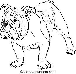 bulldogge, junger