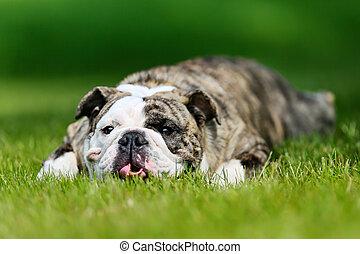 bulldogge, purebred