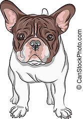 bulldogge, rasse, vektor, skizze, einheimischer hund, franzoesisch
