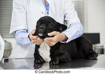bulldogge, untersuchen, tierarzt, mittelteil, tisch