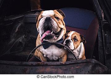 Bulldogs in the car