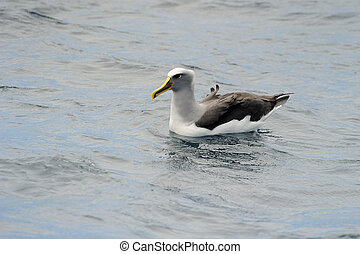 buller's, albatros, dans, water.