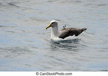 buller's, albatros, in, water.