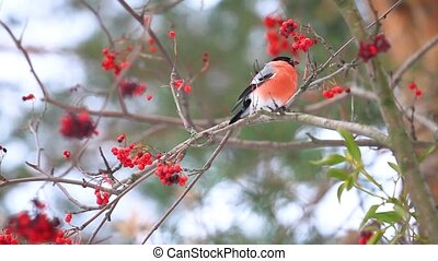 bullfinch eating red rowan berries , wildlife, unique shots
