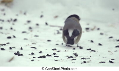 Bullfinch eating seeds - Bullfinch female on snow eating...