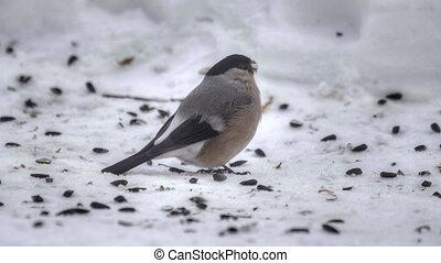 Bullfinch eating seeds