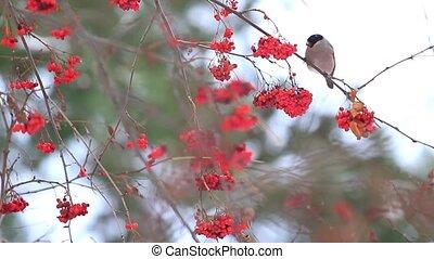 bullfinch female sitting on mountain ash berries