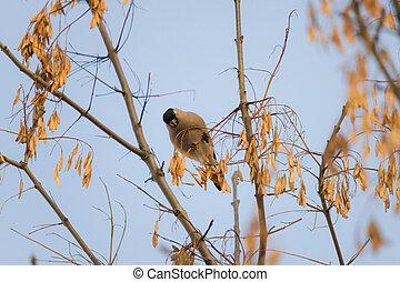 Bullfinch on a tree