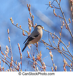bullfinch on alder branches in the forest