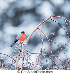 Bullfinch on the tree branch.